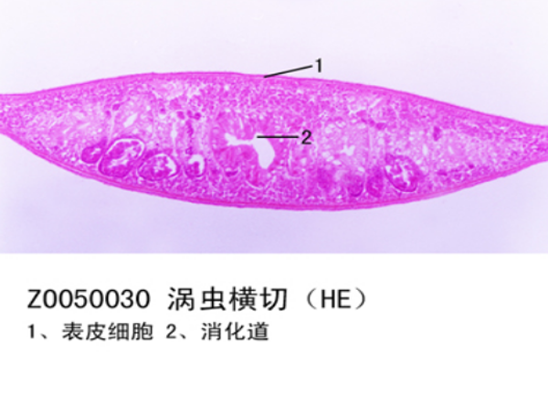 涡虫横切 - 扁形动物-动物学生物切片-产品展示